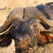 Foto de Stock  : Buffalo Face Portrait stare in Kruger National Park
