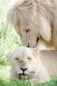 White lions mating — Stock Photo