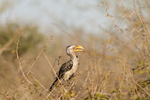Southern yellow-billed hornbil — Stock Photo