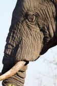 Elephant face portrait close-up — Stock Photo