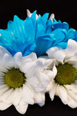 Blue and White Gerber Daisies — Stockfoto