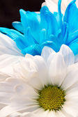 Blue and White Gerber Daisies — Foto de Stock