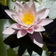 Stock Photo: Waterr lily in botanical garden