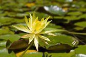 Yellow water lily in the botanical garden — 图库照片