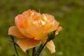 Rosa amarilla y naranja — Stock Photo