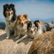 Stock Photo: Dogs on hay
