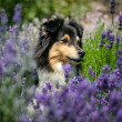Sheltie in lavendel — Stock Photo