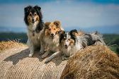 Dogs on hay — Stock Photo