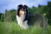 Sheltie in the meadow — Stock Photo