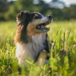 Sheltie portrait in a meadow — Stock Photo