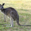 Australia, Zoology — Stock Photo #38191351