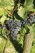 Botany, grapes — Stock Photo