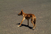 Australia, Dingo — Stock Photo