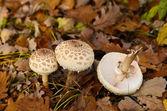 Botany, mushroom — ストック写真