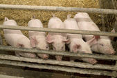 Pig Farming — Stock Photo