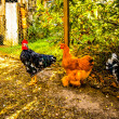 Gallinas en Corral — Stock Photo