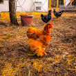 Gallinas en Corral — Stock Photo #35079847