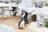 Penguins at the zoo — Stok fotoğraf