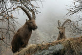 Capra ibex males — Stock Photo