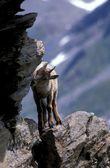 Unga capra ibex — Stockfoto