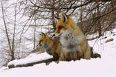 Foxes sitting in the snow — Foto de Stock