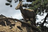 Bouquetin, Capra ibex, female — Stock Photo
