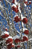 Shrub, winter, snow, sorbo selvatico, sorbo degli uccellatori, Sorbus aucuparia, arbusti, piante,plant, neve, inverno, snow, winter , Gran Paradiso National Park, — Stock Photo