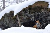 Red fox, snow, winter — Stock Photo