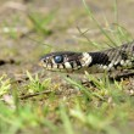 Постер, плакат: Grass snake Natrix natrix ringed snake water snake