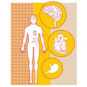 Human Anatomy — Cтоковый вектор