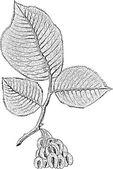 Tree branch — Stock Vector