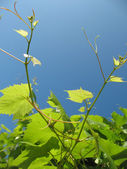 Grapevine — Stock Photo