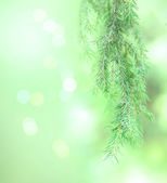 Spruce Tree Branches — Stock Photo