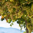 Fresh grapes in a bush in the mountain view — Stock Photo