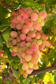 Red and green grapes on vine — Stockfoto