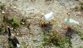 3 Geese on the ground looking for something to eat — Stockfoto