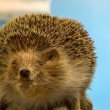 Hedgehog — Stock Photo #35996263