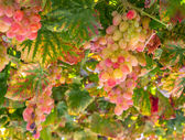 Yellow and redgrapes growing on vine — Stock Photo