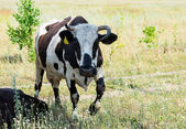 Cow in the field in a pasture — Stockfoto