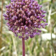 Allium sativum, flower of the garlic — Stock Photo