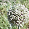 Allium sativum, flower of the garlic — 图库照片