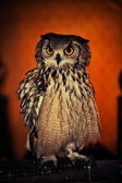 An Eurasian Eagle owl — Stock Photo
