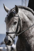 Detail of the head of a purebred Spanish horse — Stock Photo