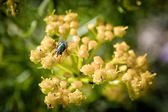 Green fly on a yellow flower — Stock Photo