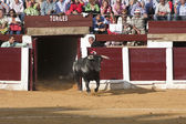 Capture of the figure of a brave bull in a bullfight going out of bullpens — Stock Photo
