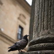 Dove on the basis of a fluted column with architecture in the background — Stock Photo