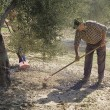 Farmer with a rake picking olives from the ground — Stock Photo #34425039
