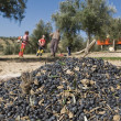 Lot of olives on a canvas and farmers gathering in a field of olive trees — Stock Photo