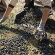 Farmer unload olives in a heap on the floor — Stock Photo