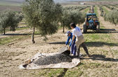 Two farmers unload olives in a heap on the floor — Stock Photo